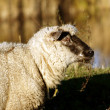 The sheep — Stock Photo