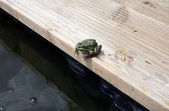 The frog — Stock Photo