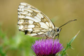 Marbled white — Stock Photo
