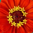 Red blossom of a Zinnia — Stock Photo
