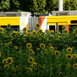 Sunflower field on the outskirts — Stock Photo