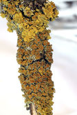 Macro de lichen — Photo