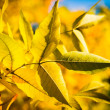 Autumn yellow tree with blue sky - Stock Photo