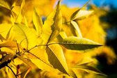 Autumn yellow tree with blue sky — Stock Photo