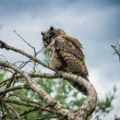 Stock Photo: Horned Owl Sitting on Tree Limb