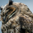 Horned Owl Sitting on a Tree Limb — Stock Photo