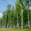 Dense green birch forest. Summer rural landscape — Stock Photo