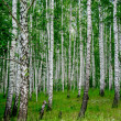 Dense birch forest. Summer rural landscape — Stock Photo