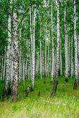 Dense birch forest. Summer rural landscape — Photo