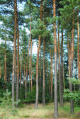Forest of conifers — Stock Photo