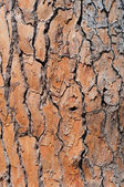 Pine-tree bark texture background — Stock Photo