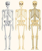 Human skeleton — Stock Vector