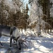 Reindeer in the winter forest — Stock Photo