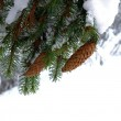 Snow-covered fir branches with cones — Stock Photo