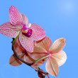 Blooming orchid — Stock Photo #21380177