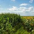 Fields of corn and sunflowers — Stock Photo #28827993
