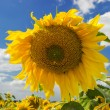 Sunflower — Stock Photo #28828007