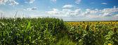 Campos de maíz y girasoles — Foto de Stock