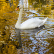 Swan floating in the water the color of gold — Stock Photo
