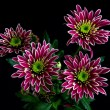 Chrysanthemum II — Stock Photo #26680091