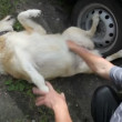 Stock Video: Owner petting dog