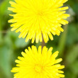 Two yellow dandelions — Stock Photo