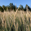 Stock Photo: Tall Fescue (Festucarundinacea)