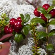 Ripe red cranberries in forest glade — Stock Photo #31177693