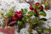 Ripe red cranberries in a forest glade — Stock Photo
