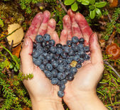 Collect berries blueberries in the forest — Stock Photo