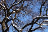 Snowy branch — Stock Photo