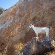 Stock Photo: White Goat