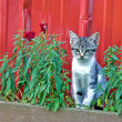 Country tabby kitten — Stock Photo