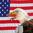 Bald eagle wearing dog tags — Stock Photo