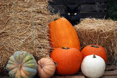 Black cat with fall pumpkins — Stock Photo