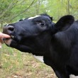 Cow sucking on a finger — Stock Photo