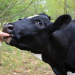 Cow sucking on a finger - Stock Photo