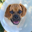 Puppy wearing a cone collar — Stock Photo