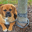 Puppy tied to tree — Stock Photo