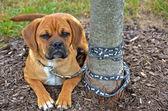 Ağaca bağladım köpek yavrusu — Stok fotoğraf