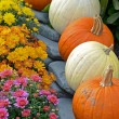 Autumn mums and pumpkins — Stock Photo