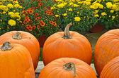 Fall mums and pumpkins — Stock Photo