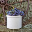 Stock Photo: Concord grapes in old crock