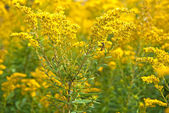 Bumblebee on goldenrod — Foto de Stock