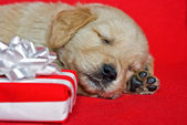 Golden retriever pup with gift — Stock Photo