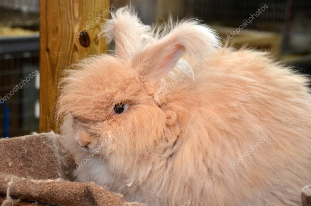 Fluffy angora rabbit in barn. — Foto Stock #16330797