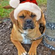Holiday Puggle — Stock Photo