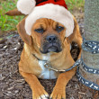 Stock Photo: Holiday Puggle
