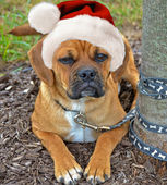 Holiday Puggle — Foto de Stock