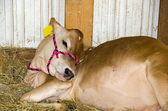 Guernsey calf in barn — Stock Photo
